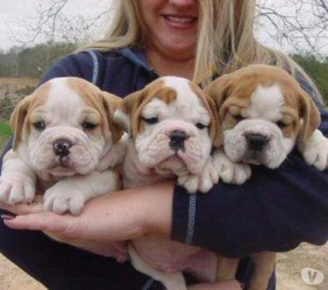 12 Wochen alte englische Bulldogge Welpen zu verkaufen