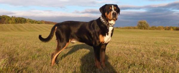 Grosser Schweizer Sennenhund Registration FCI
