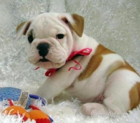 Liebevolle Bulldoggenwelpen