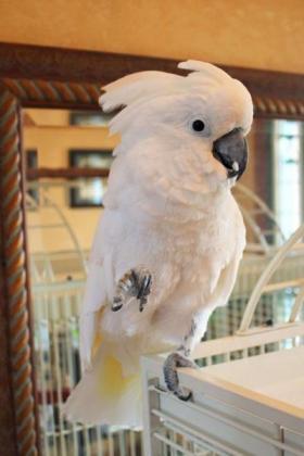 Schirmkakadu-Papageien für ein neues Zuhause