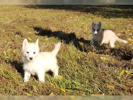 Siberian-Husky-Welpen