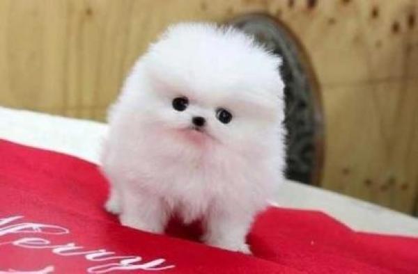 Teetasse Pomeranian Welpen