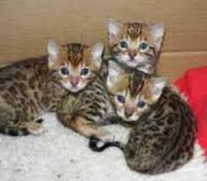 ..:: Bengal Kitten in wunderschönen *****