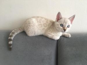 Bengal Kitten reinrassig mit Papieren