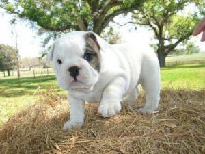 Englische Bulldogge Welpen mit papieren