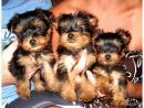 Extra Mini und Mini Yorkshire Terrier Welpen Teacup Yorkie Mädchen Rüde