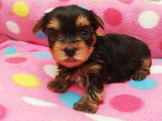 Yorkshire Terrier, Welpen MINI BABY FACE