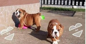 Englische Bulldoggen Welpen - Rüden und Hündinnen,