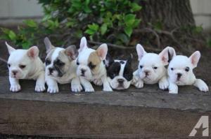 Französische Bulldogge Welpen , Rüde & Hündin