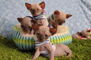 Liebenswerte Sphynx-Kätzchen verfügbar ..LDC