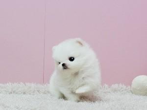 Pomeranian Zwergspiz,,