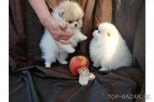 Reinrassige Pomeranian-welpen
