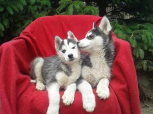 Traumhafte reinrassige Sibirien Husky Huskywelpenn