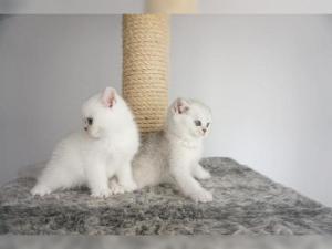 Wunderschöne reinrassige BKH Kätzchen