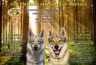Reservation Welpen Tschechoslowakischer Wolfhund
