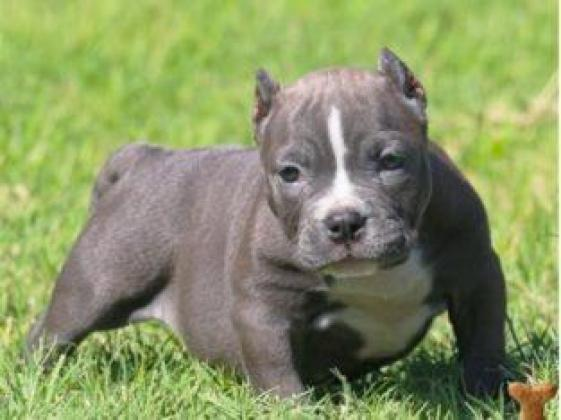 American Pitbull Terrier Blue-Line mit VDH Pap.