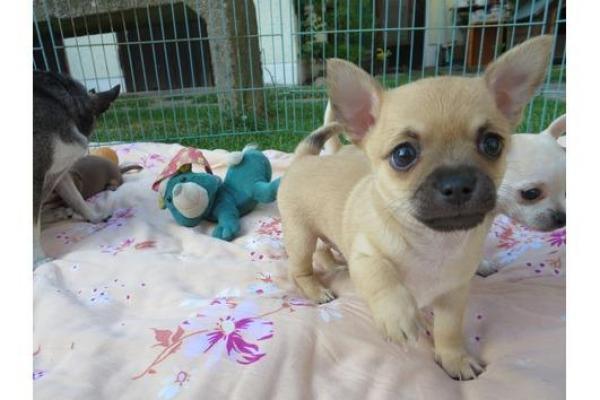 Süßer reinrassiger Chihuahuawelpe