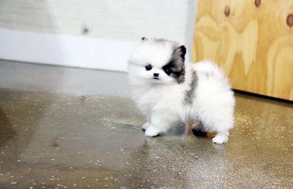 Zuckersüsse Pomeranian Welpen abzugeben