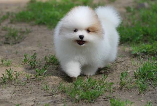 Spitz puppy of the Pomeranian