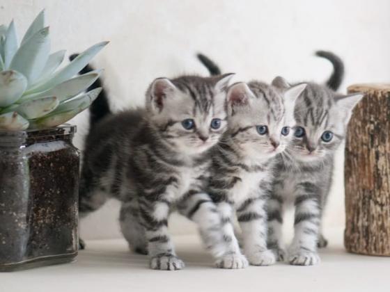 BKH kitten Black-Silver Tabby Whiskas