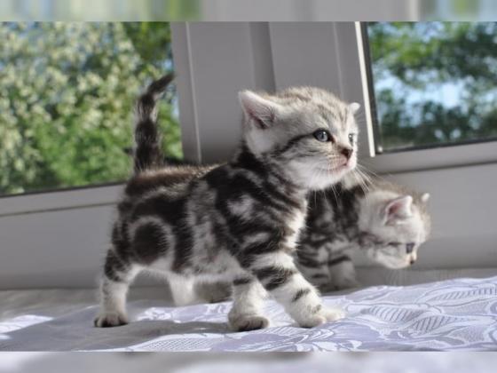 BKH Whiskas Kitten absofort abzugeben