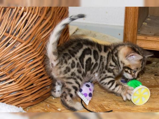Schöne, menschenbezogene Bengal Kitten - aus seriöser Zucht