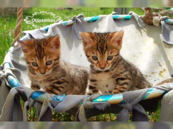 Wunderschöne reinrassige Bengal Kitten Katze mit exzellenten TICA Stammbaum Traum Rosetten