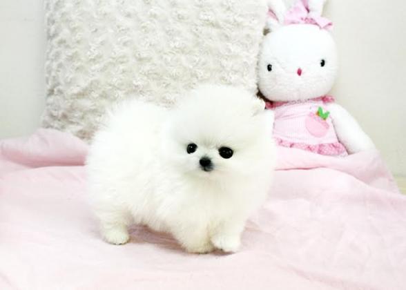 Wundervolle Zwergspitz Pomeranian Welpen die ein neues zu Hause suchen.