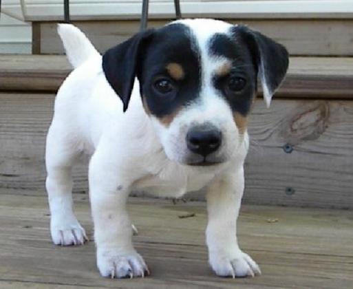 Zauberhafte Jack Russell Terrier Welpen