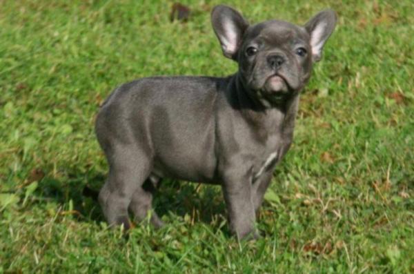 Französische Bulldoggen Welpen zu verkaufen