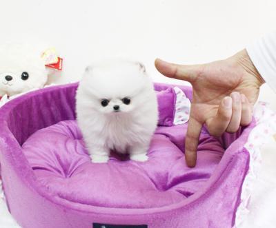 Super süße Pomeranian Zwergspitz Welpen suchen ein neues Zuhause