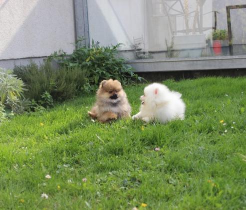 Mini Pomeranian Zwergspitz Welpen