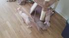 zu Hause aufgezogene süße männliche und weibliche Sphinx-Kätzchen zur Adoption