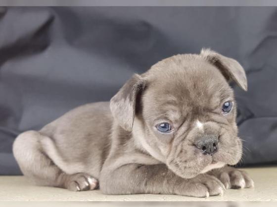 Französische Bulldogge Welpen exklusive ICE Blue Linie lilac merl und Tan