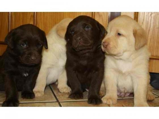 Labrador Retriever - Welpen in schokobraun ,schwarz,silber ,Gelb