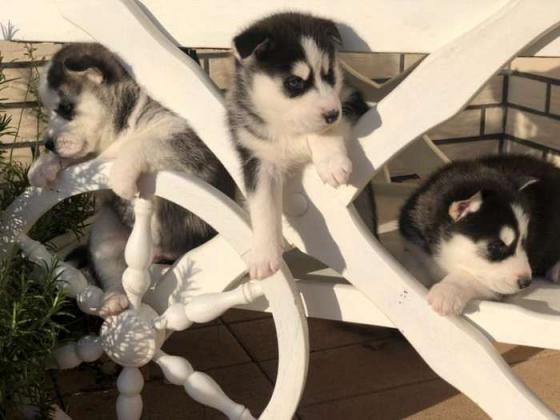 Süße und gut ausgebildet Sibirische husky Welpen
