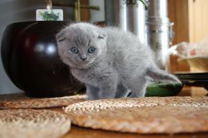 Schöne Scottishfold Kätzchen