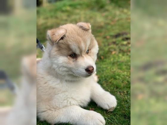 Siberian Husky Welpen mit blauen Augen