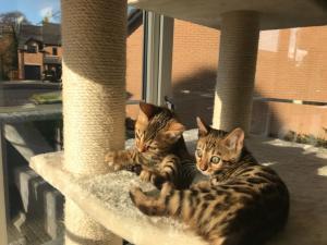 Bengali kittens