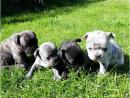 Französische Bulldogge, Welpen schwarz und gestromt, mit Papieren