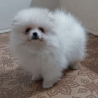 Wunderschöne Zwergspitz Pomeranian Welpen