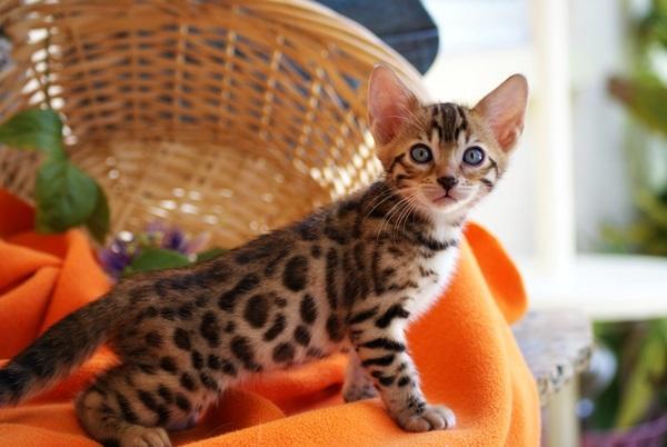 KOSTENLOS Bengal Kätzchen
