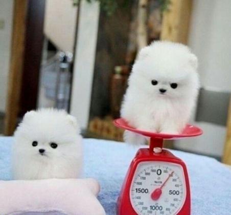 Pomeranian zwergspitz Welpen Boo Typ!