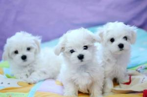 Sweet gorgeous MINI Maltese puppies 12 weeks for giving away