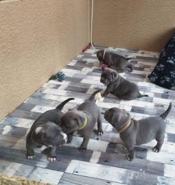 Wundersch?ne American Welpen Blue-Line Pit Bull Terrier