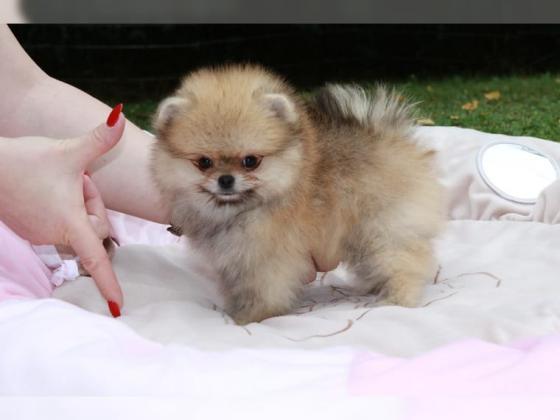 Typische Zwergspitz Welpen / Pomeranian