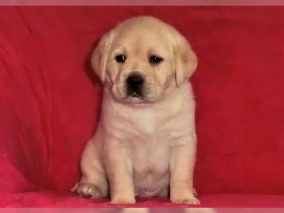 Zuckersüße Labradorwelpen