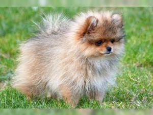 Pomeranian/ zwergspitz Welpen