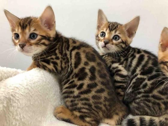 6 süße reinrassige Bengalkatzen