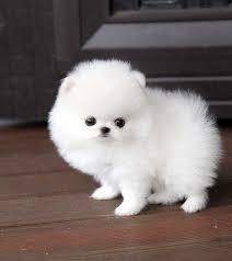 Pomeranian Zwergspitz Kontakt WhatsApp +380931456043